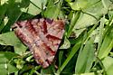 fuzzy moth - Caenurgina crassiuscula