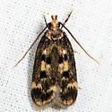 Martyringa latipennis - male