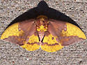 Large yellow and brown moth - Eacles imperialis