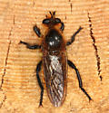 large robberfly - Laphria