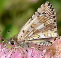 Common Checkered-Skipper - Pyrgus communis - male