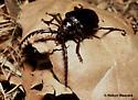 California Root Borer - Prionus californicus - male