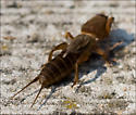 Unidenfied 2 inch long critter - Neocurtilla hexadactyla - male