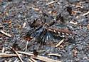 unkown dragonfly - Plathemis lydia