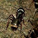 Unknown Ant - Camponotus modoc