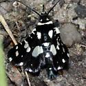 Mournful Thyris Moth - Thyris sepulchralis