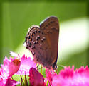 Small butterfly on pink flower - Satyrium behrii