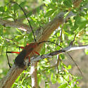 Long-Horned Beetle? - Rhodoleptus femoratus