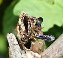 Grass Carrying Wasp - Isodontia exornata