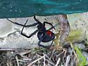 Latrodectus mactans? - Latrodectus mactans - female