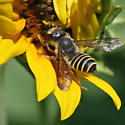 Leaf Cutter Bee - Megachile inimica