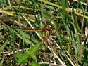 Dragonfly - need ID - Yellow-side Skimmer? - Libellula auripennis - male