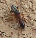 Spider - Myrmarachne formicaria