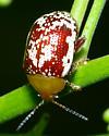 Small copper and white beetle - Blepharida rhois
