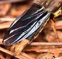 large rove beetle - Platydracus maculosus