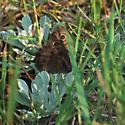 Butterfly Species - Cercyonis sthenele
