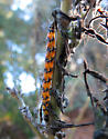 Uresiphita reversalis - Genista Broom Moth caterpillar  - Uresiphita reversalis