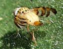 Chaetorellia succinea or australis? - Chaetorellia succinea - female