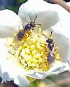 Pair of tiny bees - Lasioglossum
