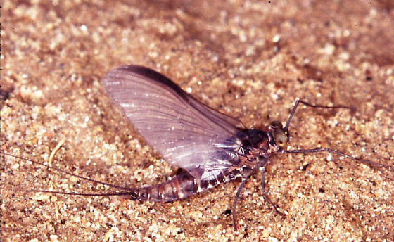 Ritchie County Mayfly - Baetisca