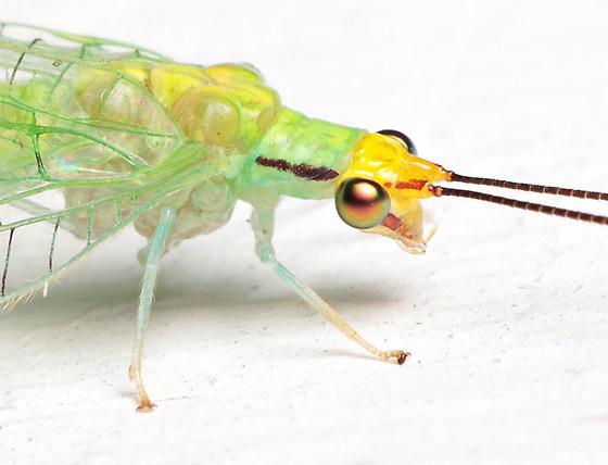 Leucochrysa pavida