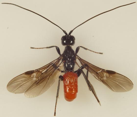Braconinae? - Atanycolus