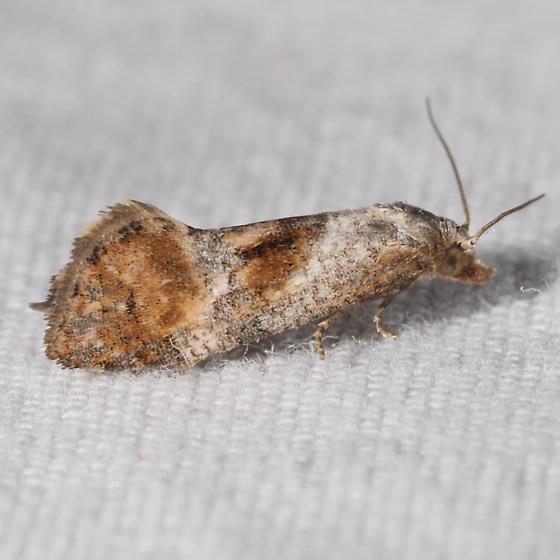 Possibly Cochylis temerana - Cochylis