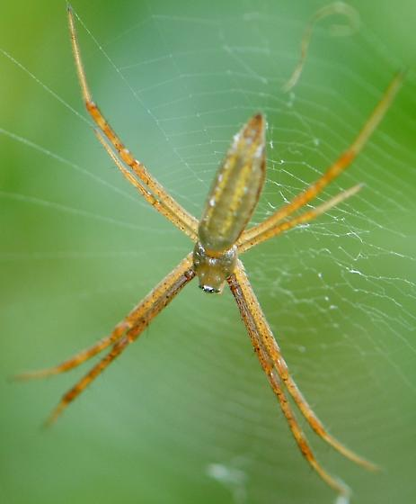 Banded garden spider argiope trifasciata bugguide net for What does a garden spider look like