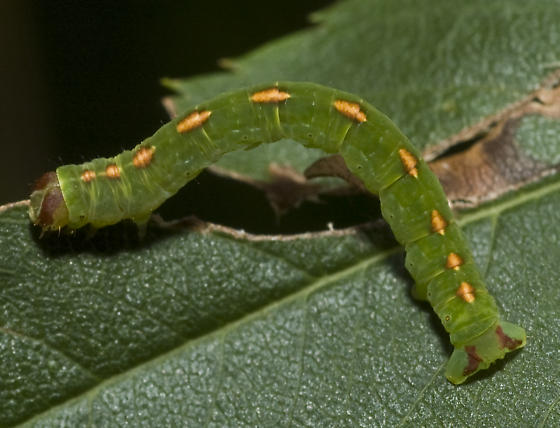 Mountain Ash caterpillar - Lomographa semiclarata
