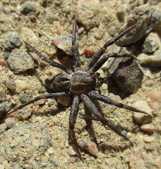 Medium Sized Spider - Thanatus