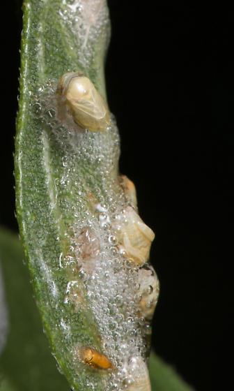 Spittlebug Fly pupae - Cladochaeta