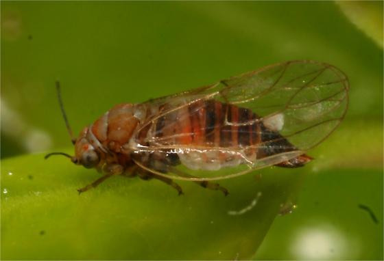 Psyllid - Gyropsylla ilecis
