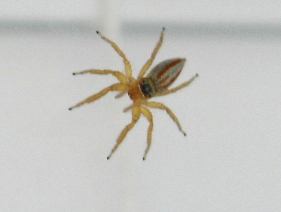 small tan spider with red striped body  - Paramaevia poultoni