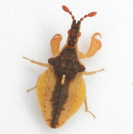 Lophoscutus prehensilis (Fabricius) - Lophoscutus prehensilis
