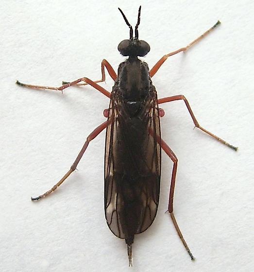 Meadow Fly - Xylophagus decorus - female