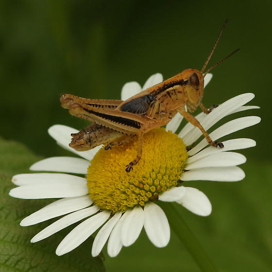 Grasshopper on a flower - Melanoplus - male