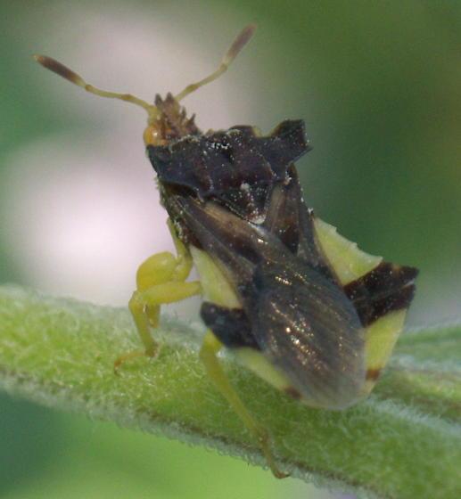 Yellow and Brown Ambush Bug - Phymata