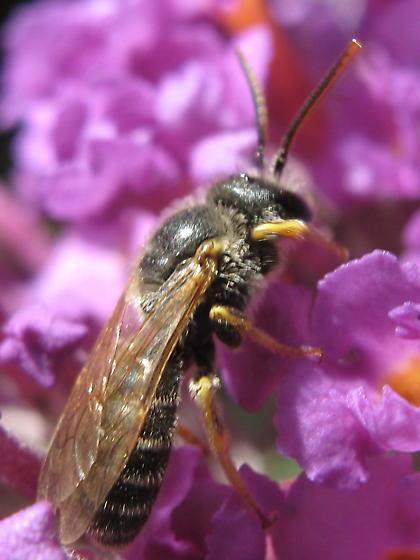 bee on butterfly bush - Halictus ligatus - male