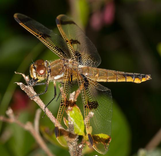 ? female calico pennant - Libellula semifasciata