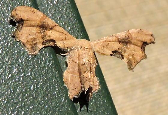 Calledapteryx dryopterata  - Calledapteryx dryopterata