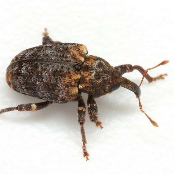 Conotrachelus rubescens Schaeffer - Conotrachelus rubescens