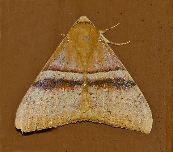 Texas SE Gulf Coast - Ophisma tropicalis - female