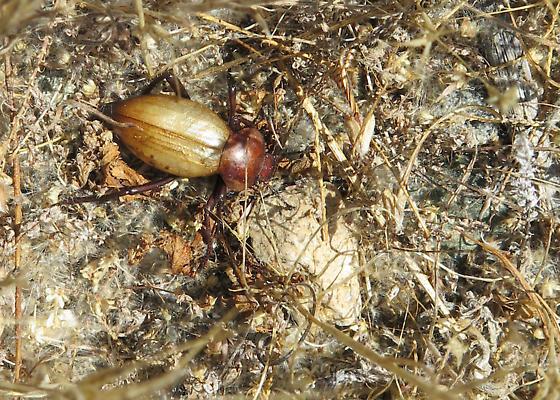 Unknown Tenebrionidae - Eleodes