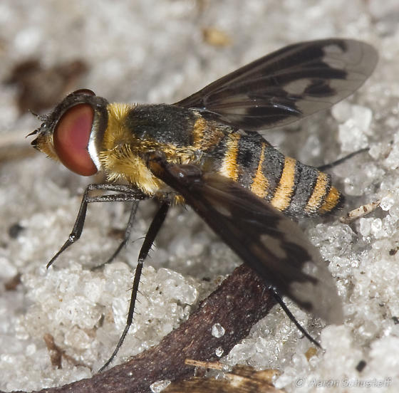 South Florida Bee Fly - Exoprosopa fascipennis
