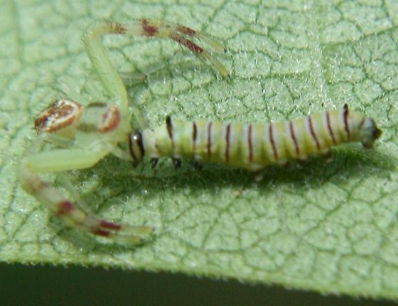 CRAB SPIDER-Mecaphesa misumenops preying on monarch caterpillar - Mecaphesa