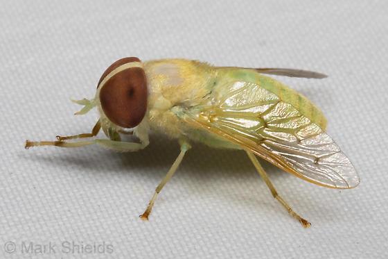 yellow-green fly - Chlorotabanus crepuscularis - female