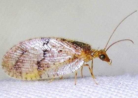Brown Lacewing (Megalomus?) - Megalomus