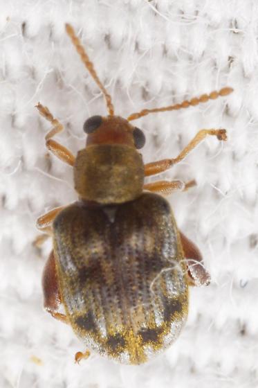 dermestid colored chrysomelid - Pseudolampsis guttata