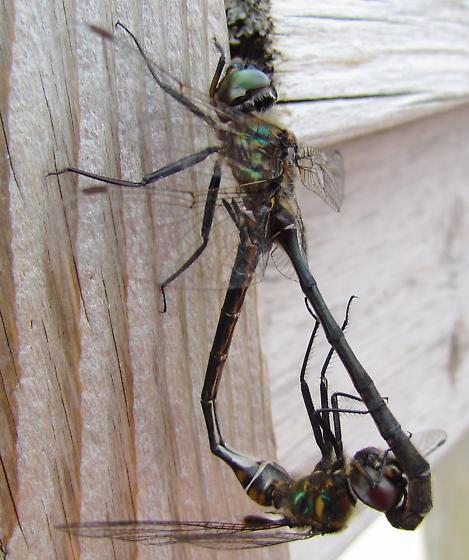 dragonflies on marsh boardwalk - Somatochlora franklini - male - female
