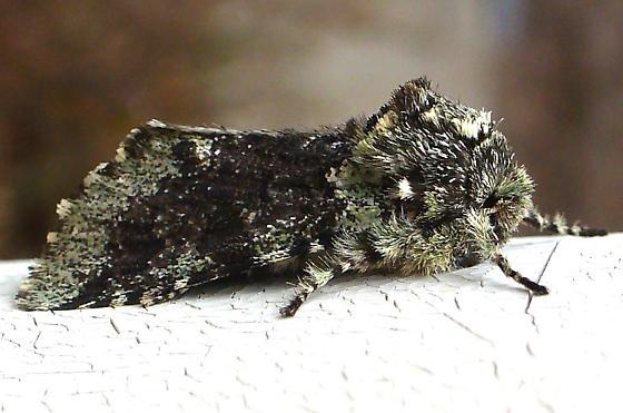 moth - Feralia major